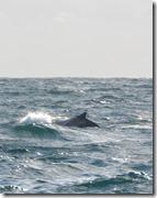 Baleines Samana depart (2)